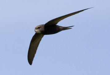 Swift in flight. Picture by James Sellen